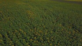 blommar solrosen arkivfilmer