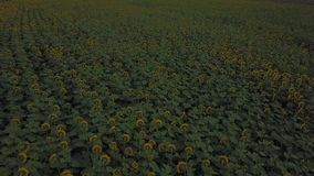 blommar solrosen lager videofilmer