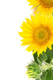 Blommar solrosor Arkivbild