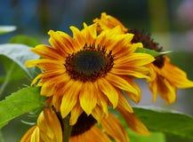 blommar solrosor Royaltyfri Foto
