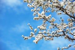 blommar springtime Fotografering för Bildbyråer