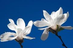 Blommar stor vit magnolia två i blomning på blå bakgrund, slut upp Fotografering för Bildbyråer