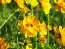 Blommar sugande pollen för biet från gult kosmos i trädgården royaltyfri fotografi