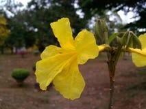 Blommar Thailand Royaltyfria Foton