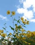 blommar topinambur Arkivbild