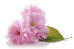 blommar treen Royaltyfria Bilder
