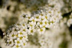 blommar treen Fotografering för Bildbyråer