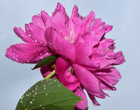 blommar trevligt Royaltyfria Foton