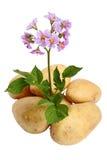blommar tubers Royaltyfria Bilder