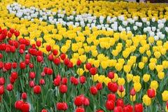 blommar tulpan Royaltyfri Foto
