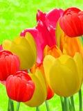 blommar tulpan Royaltyfria Foton