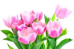 blommar tulpan Fotografering för Bildbyråer