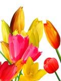 blommar tulpan Arkivbild