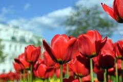 blommar tulpan Arkivfoto