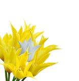blommar tulpan Royaltyfri Fotografi