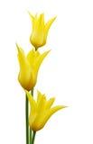 blommar tulpanyellow Arkivfoto