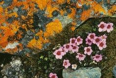 blommar tundraen Arkivfoto