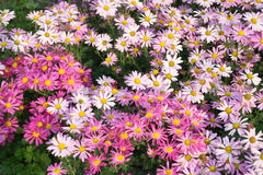 Blommar tusenskönan Färgnaturbakgrund Arkivfoton