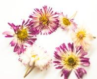 Blommar tusenskönan och hjärta på vit royaltyfri bild