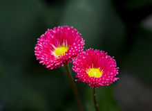 Blommar tusenskönor Royaltyfria Bilder