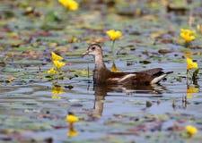 Blommar unga bad för en rörhöna som omges av gult vatten Royaltyfria Foton