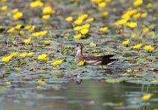 Blommar unga bad för en rörhöna som omges av gult vatten Royaltyfri Bild