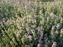 blommar växt- citrontimjan Royaltyfria Foton