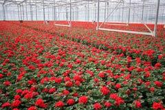 blommar växthuset Royaltyfria Foton
