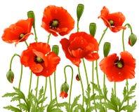 blommar vallmofjädern Royaltyfri Foto