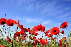 blommar vallmon Royaltyfria Bilder