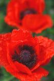 blommar vallmon Royaltyfria Foton