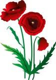 blommar vallmon arkivbilder