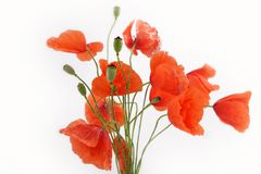 blommar vallmon Arkivbild
