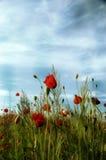 blommar vallmon Arkivfoto