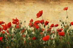 blommar vallmon Royaltyfri Fotografi