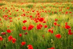 blommar vallmor Arkivfoton