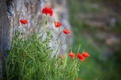 blommar vallmored Arkivfoto