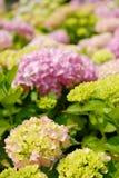 blommar vanlig hortensia Arkivbilder