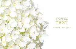 blommar vanlig hortensiawhite Arkivfoton