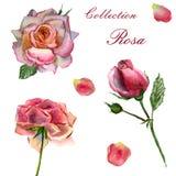 Blommar vattenf?rgillustrationen St?ll in av rosa rosor p? en vit bakgrund stock illustrationer