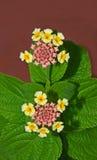 blommar verbena Arkivfoton