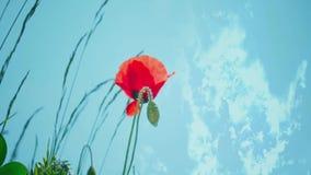 blommar vildblommar för sommar för sky för idyllvallmor röda Vildblomma i ängen arkivfilmer