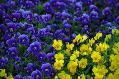 blommar violaen Arkivfoto