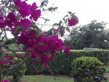 blommar violeten Arkivbild