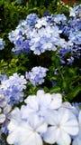 blommar violeten Royaltyfri Bild