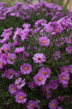 blommar violeten Arkivfoton