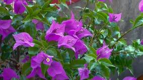 blommar violeten Fotografering för Bildbyråer