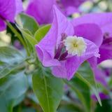 blommar violeten Arkivfoto