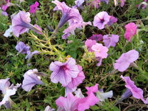 blommar violeten Royaltyfri Foto