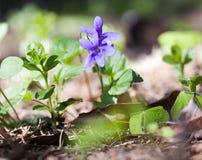blommar violets Royaltyfria Foton